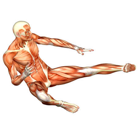 anatomy muscles: Illustration of the anatomy of the male human body isolated on a white background