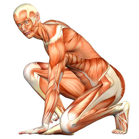physiology: Illustration of the anatomy of the male human body isolated on a white background