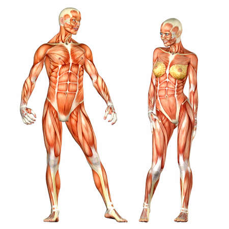 abdominal muscles: Illustration of a male and female human anatomy characters isolated on a white background Stock Photo