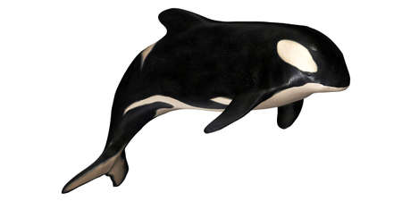 Illustration of a killer whale isolated on a white background illustration