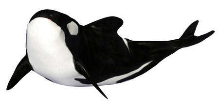 orca: Illustration of a killer whale isolated on a white background