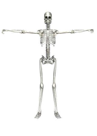 Illustration of a skeleton isolated on a white background Stock Illustration - 12743312