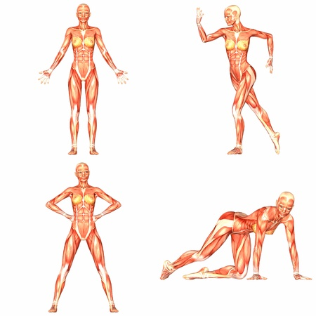 Female Human Body Anatomy Pack - 4of5 Stock Photo - 13560798