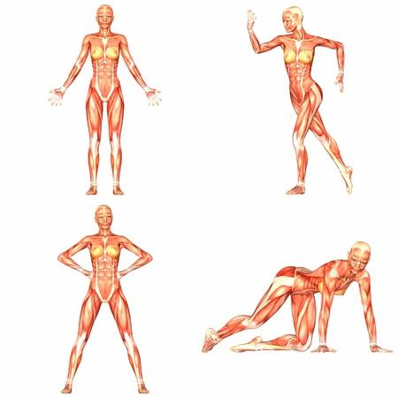 Female Human Body Anatomy Pack - 4of5 Stock Photo - 13560798