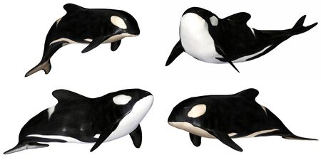 orca: Illustration of a pack of four  4  killer whales with different poses isolated on a white background