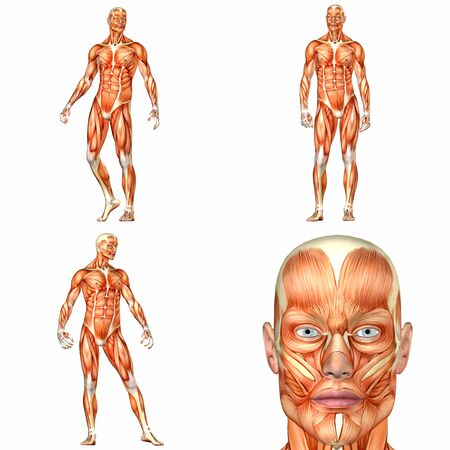 physiology: Illustration of a pack of four  4  male characters showing the human body anatomy with different poses isolated on a white background - 1of3