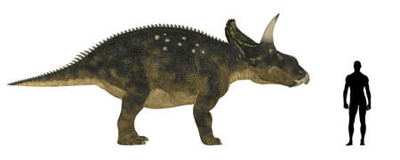 period: Illustration of a comparison of the size of an adult Nedoceratops  dinosaur species formerly known as Diceratops  with an average adult male human  1 8 meters