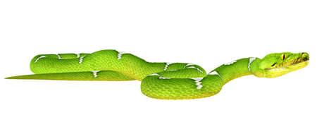 species: Illustration of a Green Tree Python  snake species  isolated on a white background Stock Photo