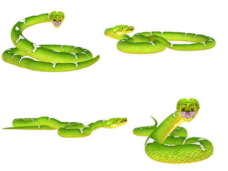 pythons: Illustration of a pack of four  4  Green Tree Pythons  snake species  with different poses isolated on a white background