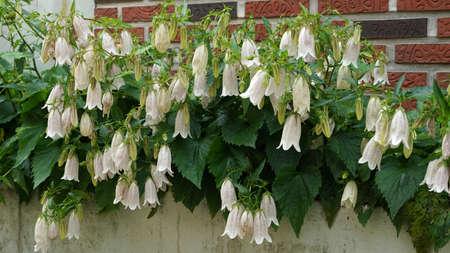 White Korean bellflower at garden in May