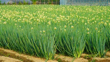 white-flowered onion at the field Archivio Fotografico