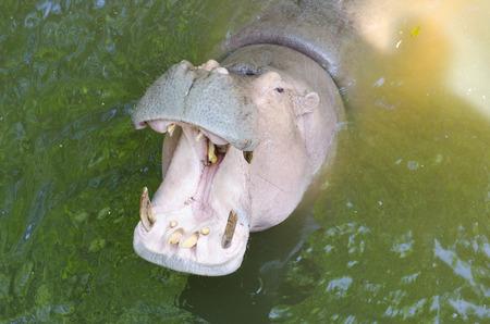 Hippopotamus showing huge jaw and teeth photo