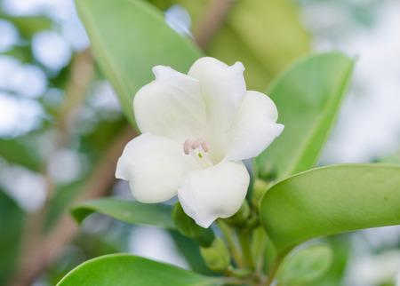 taller: Fagraea racemosa Javanica
