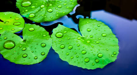 Water Drops on Lotus Leaves Stock Photo - 17513936
