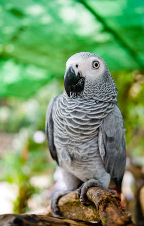Portrait of african grey parrot while he was in a good mood. photo