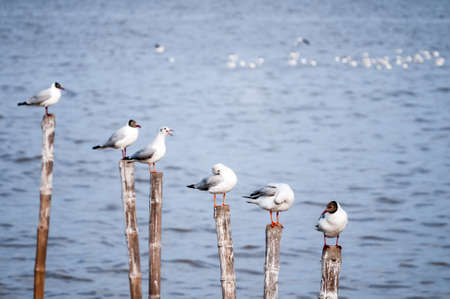 Seagulls standing on bamboo sticks along the seaside