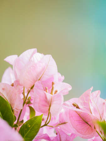 Bougainvillea flower in pastel color symbolized of purity and freshness photo