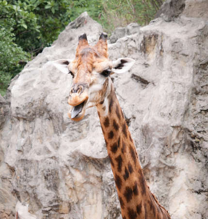 Giraffe the long neck animal in the smiling face Stock Photo