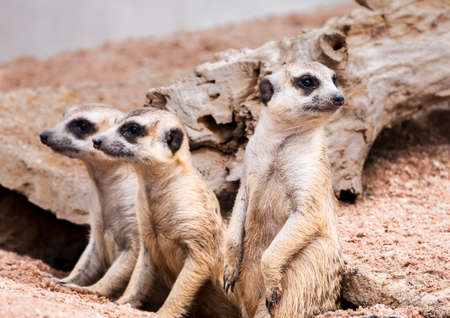 cautious: Meerkats looking for something with cautious and quiet