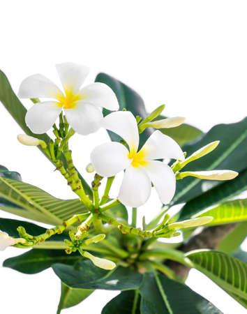 White plumeria flower isolated on white background