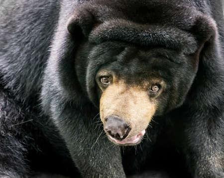 oso negro: Oso negro que le mira, se centran en los ojos Foto de archivo
