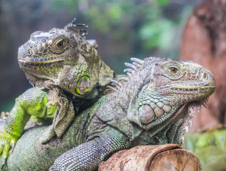 Two Iguanas standing outdoor on the wooden log Stock Photo