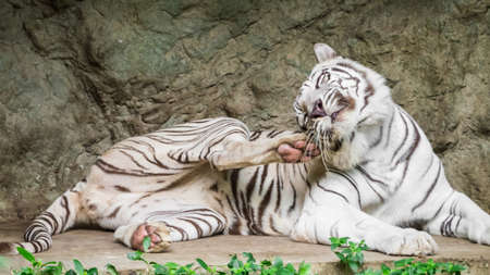 White bengal tiger scratching her face like a cat photo
