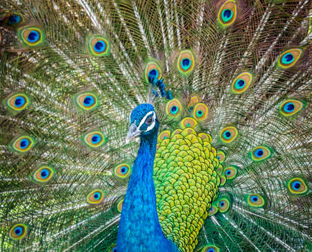 Closeup of peacock showing his beautiful feathers
