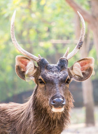Portrait of a deer who is looking at you