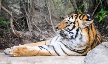 laziness: Bengal tiger laid down with laziness and then asleep Stock Photo