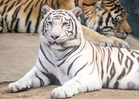 laziness: Bengal tiger laid down with laziness looking at you