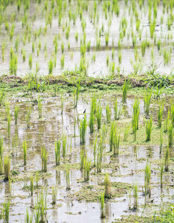 Rice planted in the field are growing up Stock Photo