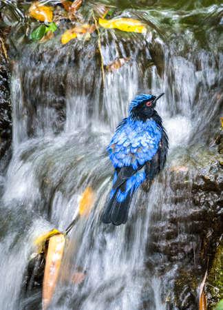 Asian fairy bluebird taking a bath in the waterfall, slow shutter Stock Photo