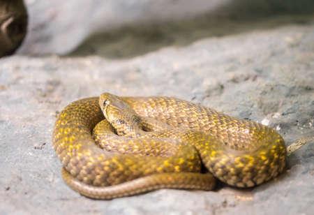 orange snake: An orange snake looking up left cautiously Stock Photo