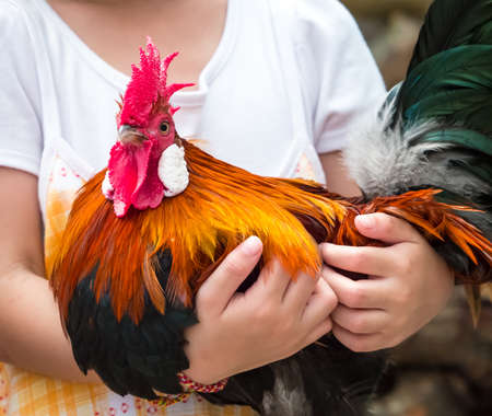 Childs hand hugging rooster with love and care Stock fotó