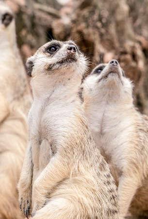 upward: Two meerkats stand up and look upward Stock Photo