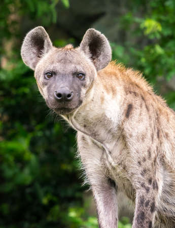 Portrait of hyena standing in front of natural scene in the evening Stock Photo