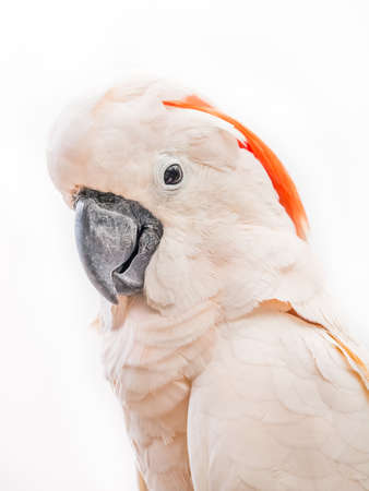Portrait of cockatoo isolated on white background