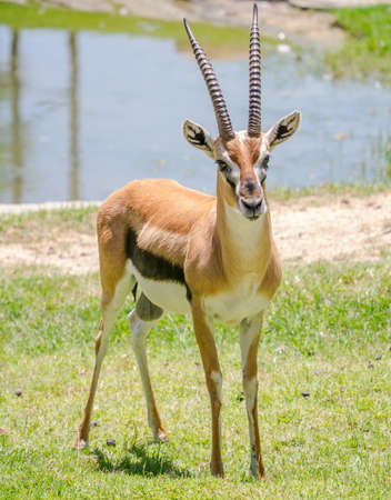 Male thomson gazelle with beautiful horns in natural scene