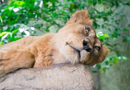 Sleepy female lion keep looking at you Stock Photo