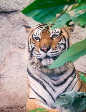 Portrait of tiger hiding behind the green plant