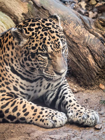 Jaguar sitting on the ground in angry mood Stock Photo - 39376177