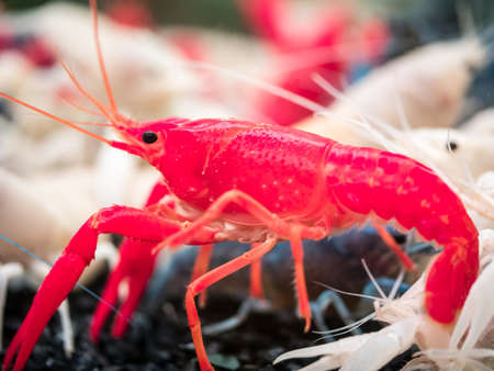 Closeup shot of red crayfish in the water along those white