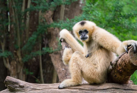 gibbon: White female gibbon sitting in front of the green forest