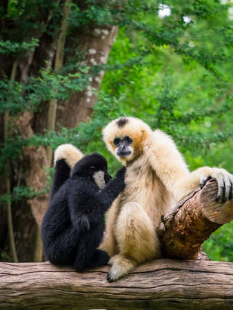 White female gibbon breast feeding her child in front of the green forest