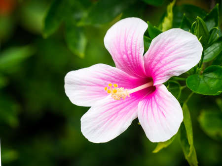White-pink hibiscus flower shot in natural light. Stock Photo - 41710752
