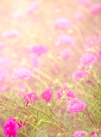 Soft pink flower blooming able to use as background