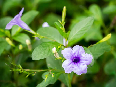 Purple petunia flowers shot in the morning Stock Photo
