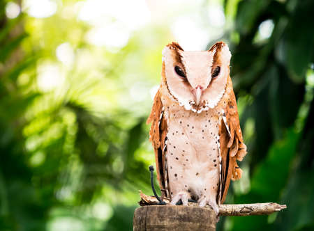 Portrait of a brown owl standing still in front of natural background
