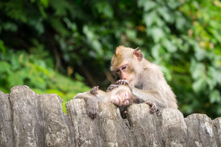 Baby monkey is taken care by his mother, removing pests from his head, while sleeping